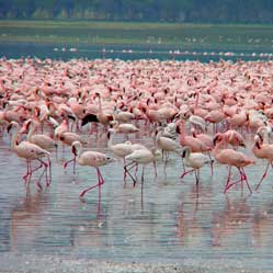 Lake Nakuru Flamingoes.